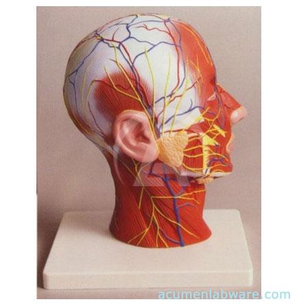 Human Half Head Anatomy Model Human Muscle Anatomy Models Manufacturers