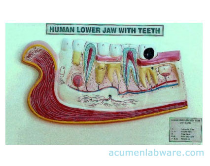 Human Lower Jaw With Teeth Anatomy Model, Torso Models diagram ...
