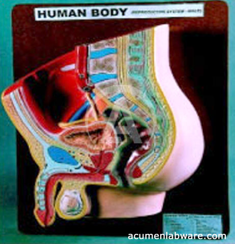 3D Human Male Reproductive System Anatomy Model, Pictures & Charts ...