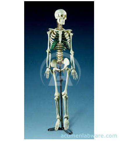 human anatomy skeleton. Human Skeleton