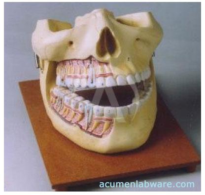Human jaw gallery human anatomy organs diagram human jaw images human anatomy organs diagram ccuart Images